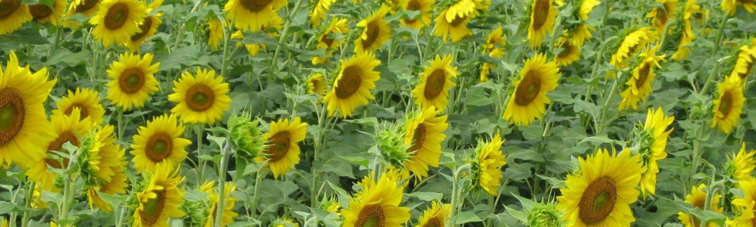 Auringonkukkapelto 3.5 KOULUTUKSET yläkuva UUSI